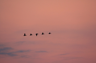 マガン夕空に飛ぶの写真素材 [FYI03247439]