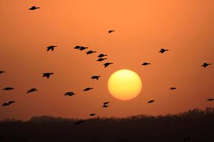 夕日とマガンの写真素材 [FYI03247441]