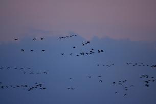 マガン夕空に飛ぶの写真素材 [FYI03247443]