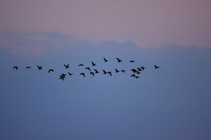 マガン夕空に飛ぶの写真素材 [FYI03247444]
