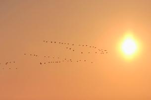 夕日とマガンの写真素材 [FYI03247445]