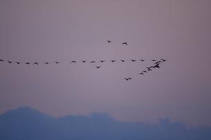 マガン夕空に飛ぶの写真素材 [FYI03247447]