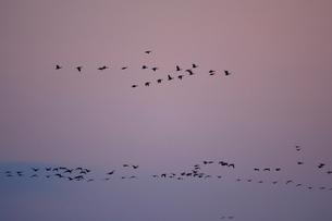 マガン夕空に飛ぶの写真素材 [FYI03247450]