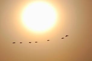 マガンと太陽の写真素材 [FYI03247452]