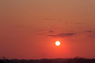 夕日とマガンの写真素材 [FYI03247453]