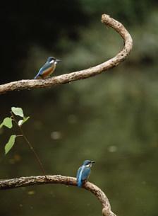 枝の上のカワセミの写真素材 [FYI03247518]