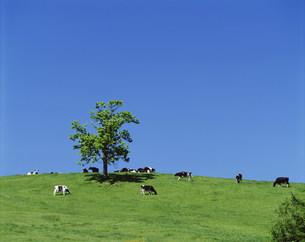 牧場の牛と立木の写真素材 [FYI03247537]
