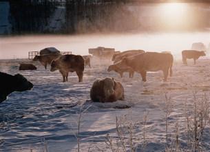 冬の牧場と牛 阿寒湖の朝の写真素材 [FYI03247539]