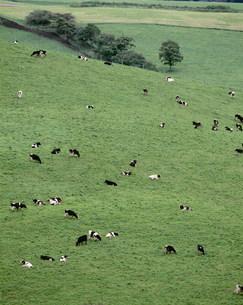 牛 ナイタイ高原牧場の写真素材 [FYI03247542]