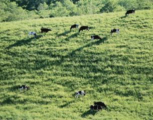 牧場の牛 900草地の写真素材 [FYI03247544]