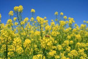 菜の花とミツバチの写真素材 [FYI03247555]