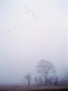 霧に飛ぶマガンの写真素材 [FYI03247556]