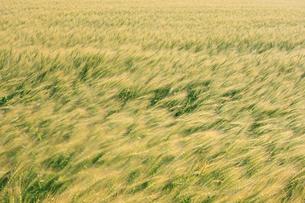 風に揺れる小麦の写真素材 [FYI03247567]