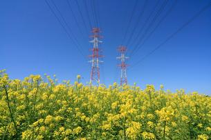 菜の花と送電線の写真素材 [FYI03247569]