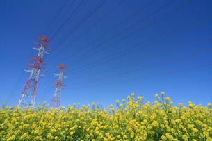 菜の花と送電線の写真素材 [FYI03247571]