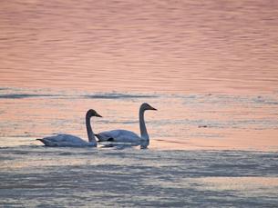 オオハクチョウと暮色の水面と氷の写真素材 [FYI03247686]