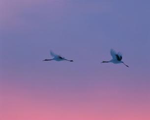 夕焼けに飛ぶ丹頂の写真素材 [FYI03247704]