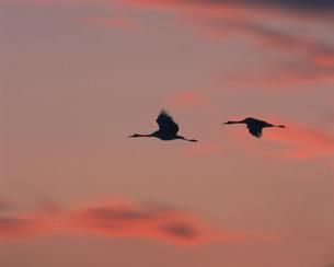 夕焼けに飛ぶ丹頂の写真素材 [FYI03247710]