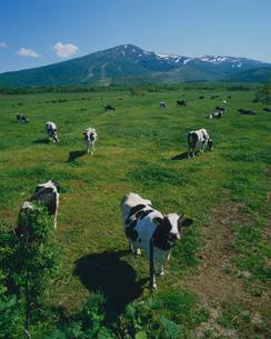 牛の放牧の写真素材 [FYI03247726]