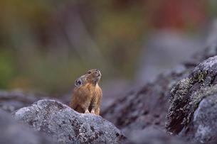 ナキウサギの写真素材 [FYI03247736]