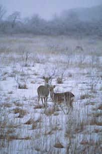 エゾシカと釧路湿原の写真素材 [FYI03247821]