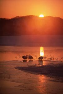 眠るタンチョウと朝焼けに染まるケアラシ立つ湖の写真素材 [FYI03247825]