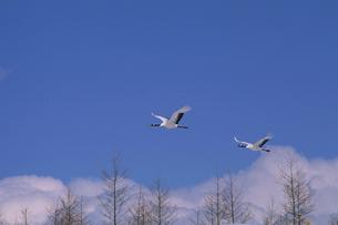 青空に飛ぶタンチョウの写真素材 [FYI03247827]