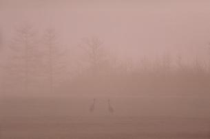 朝霧の中のタンチョウの写真素材 [FYI03247841]