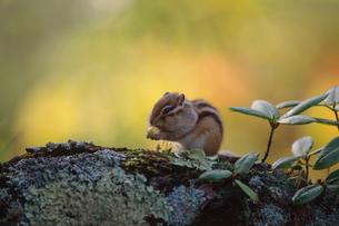 ドングリを食べるシマリスの写真素材 [FYI03247879]