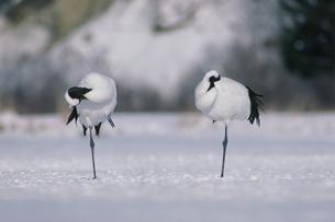 羽づくろいや休息をするタンチョウの夫婦の写真素材 [FYI03247886]