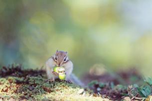 ドングリを食べるシマリスの写真素材 [FYI03247896]
