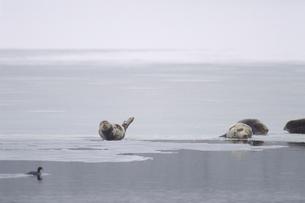 氷の上で休むアザラシの写真素材 [FYI03247907]