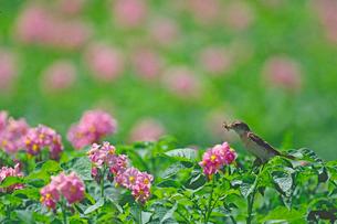 ノビタキとジャガイモの花の写真素材 [FYI03248075]