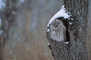 フクロウの写真素材 [FYI03248119]