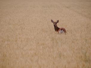 エゾシカと麦畑の写真素材 [FYI03248138]