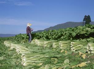 野沢菜の収穫の写真素材 [FYI03248223]