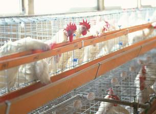 鶏舎の写真素材 [FYI03248285]