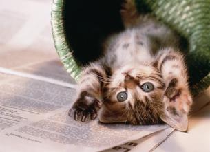 カゴの中でじゃれる猫の写真素材 [FYI03248323]