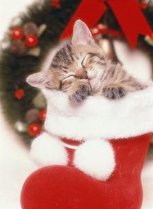 眠るネコ クリスマスの写真素材 [FYI03248345]