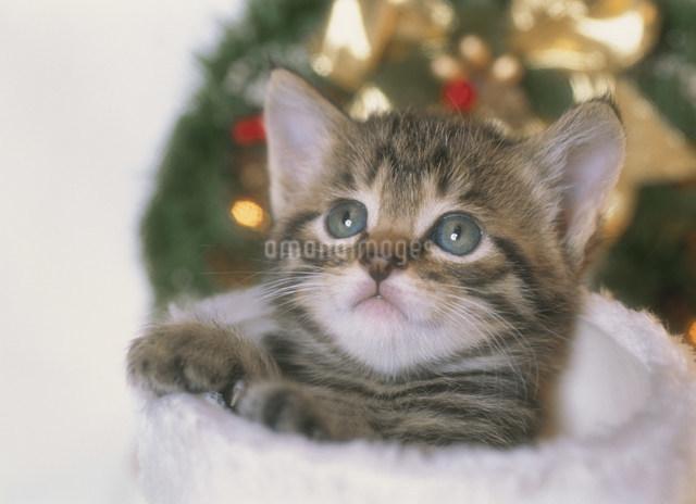 クリスマスの仔猫の写真素材 [FYI03248351]