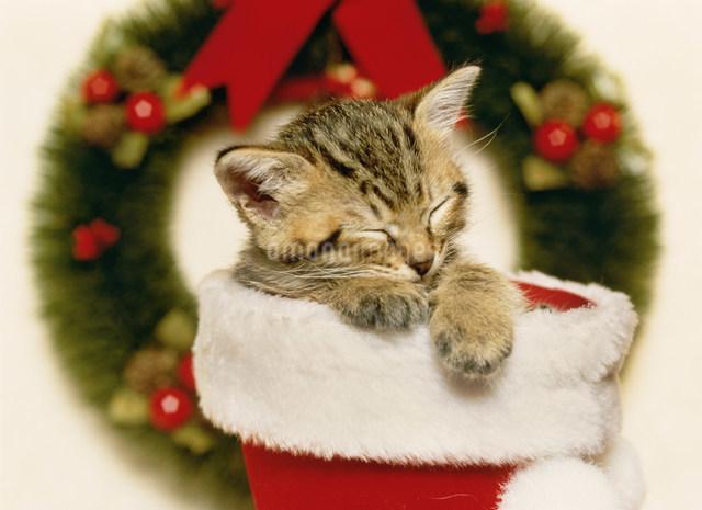 クリスマスの仔ネコの写真素材 [FYI03248353]
