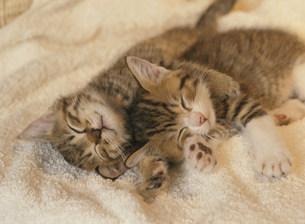 眠る2匹の猫の写真素材 [FYI03248365]