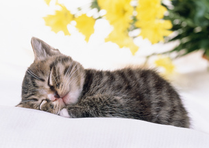 花と眠る仔ネコの写真素材 [FYI03248389]