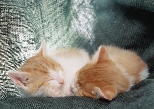 眠る2匹の仔ねこの写真素材 [FYI03248411]