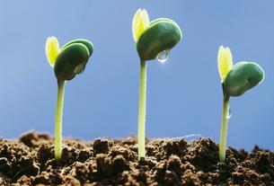 大豆の発芽と水滴の写真素材 [FYI03248412]