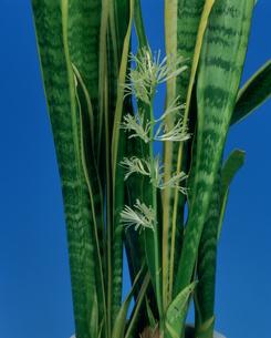 サンスベリアの花の写真素材 [FYI03249109]