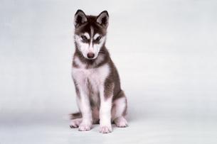 1歳のハスキー犬の写真素材 [FYI03249144]