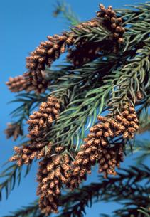 杉の木の雄花の写真素材 [FYI03249147]