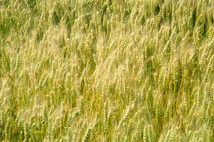 大麦の写真素材 [FYI03249194]
