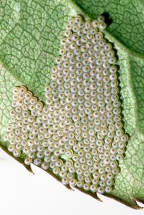 チュウレンジバチの卵の写真素材 [FYI03249209]